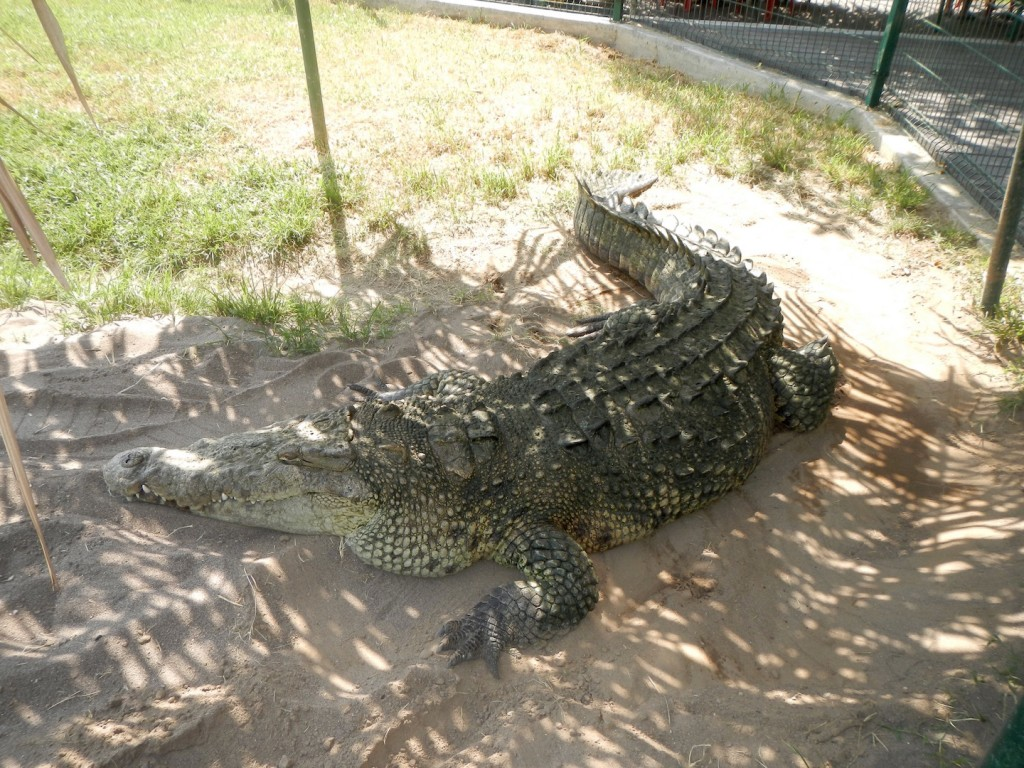 We saw a tiny crocodile from the boat, this big one was in the refuge