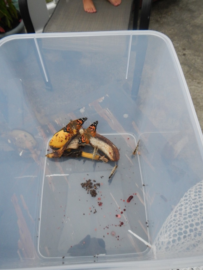 Butterflies before we released them