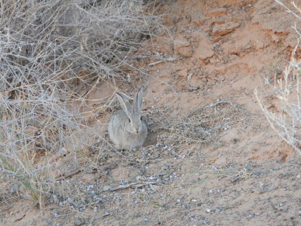 The trail rabbit