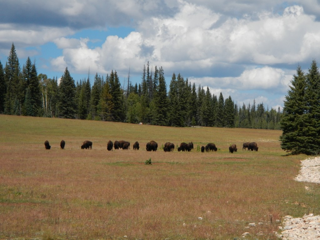 There's a herd of wild bison grazing right inside the gate of Grand Canyon National Park