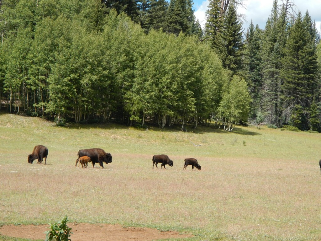 A baby buffalo hanging with the herd