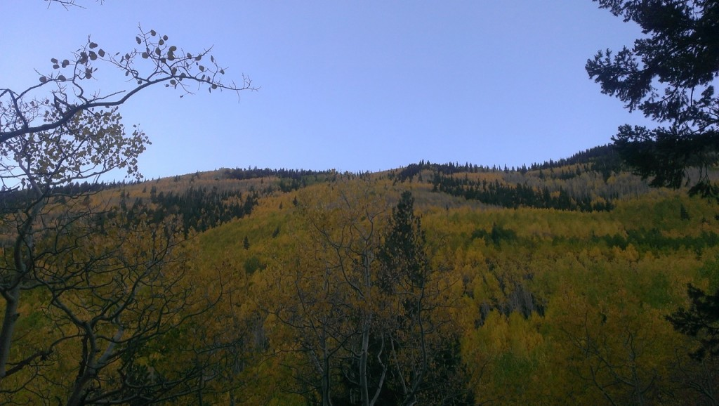 A hill covered in Aspen Trees